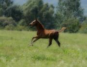 Arabian Foal Print by El Luwanaya Arabians