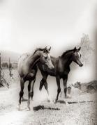 Arabian Photographs Posters Digital Art - Arabian foals by El Luwanaya Arabians