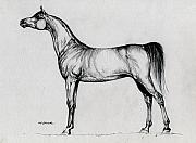 Stallion Drawings - Arabian Horse Drawing 34 by Angel  Tarantella