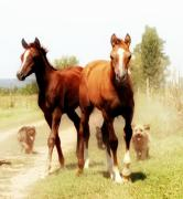 Photographs Digital Art - Arabian horse foals by El Luwanaya Arabians
