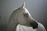 Animal Themes Art - Arabian Horse by Photo by Eman Jamal