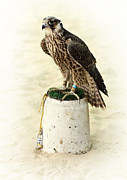 Arabia Framed Prints - Arabian hunting falcon Framed Print by Paul Cowan