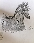 Horse Drawings Photo Prints - Arabian in Pencil Print by Pamela Walrath