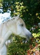 Horses Photographs Digital Art - Arabian mare by El Luwanaya Arabians