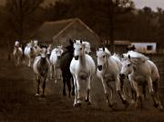 Equine Photographs Posters Photos - Arabian mares - run on the pasture by El Luwanaya Arabians