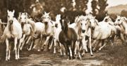 White Horse Photographs Greeting Cards Prints - Arabian mares - running home Print by El Luwanaya Arabians