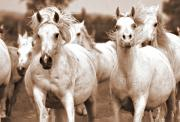 White Horse Photographs Greeting Cards Prints - Arabian mares home run Print by El Luwanaya Arabians