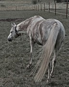 Gray Horse Photos - Arabian by Odd Jeppesen