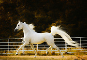 Equine Photography Photos - Arabian Prince by Ron  McGinnis