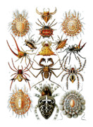 Wife Drawings Posters - Arachnida Spiders Poster by Ernst Haeckel