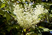 Angelica Framed Prints - Aralia Elata aureovariegata Framed Print by Dr Keith Wheeler