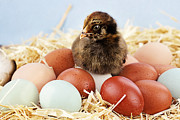 Small Basket Posters - Araucana Chick and Eggs Poster by Stephanie Frey