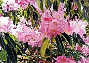 Most Commented Prints - Arboretum Rhododendrons Print by David Lloyd Glover