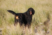Gordon Setter Prints - Archie at Play Print by Kirsten Chee