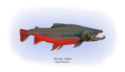 Arctic Drawings Metal Prints - Arctic Charr Metal Print by Ralph Martens