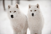 Arctic Wolf Photos - Arctic duet by PNDT Photo