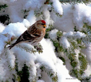 Snow Scenes Digital Art Prints - Arctic Finch On Snow Covered Branches Print by Patricia L Davidson
