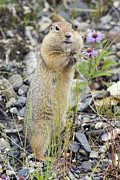 Humorous Photographs Posters - Arctic Ground Squirrel Spermophilus Poster by Rich Reid
