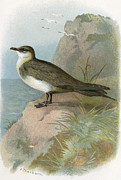 Bird Drawing Posters - Arctic Skua, Historical Artwork Poster by Sheila Terry