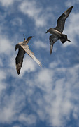 Sea Gull Photos - Arctic Skuas by Andy Astbury