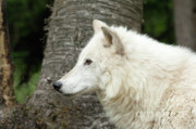 Canis Lupus Prints - Arctic Wolf - On Watch Print by Sandra Bronstein