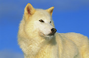 Arctic Wolf Photos - Arctic Wolf Canis Lupus Portrait by Tom Vezo