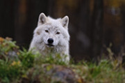 Wolf Photograph Mixed Media - Arctic Wolf In Autumn by Michael Cummings