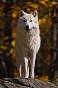 Arctic Wolf On Rocks Print by Michael Cummings
