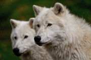 Animals Prints - Arctic Wolf Pair Print by Michael Cummings
