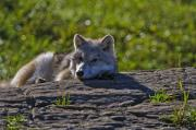 Wolf Photograph Mixed Media - Arctic Wolf Pup 2 by Michael Cummings