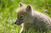 Canine Framed Prints - Arctic Wolf Pup In Grass Framed Print by Michael Cummings