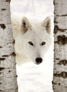 Arctic Prints - Arctic Wolf seen between two trees in winter Print by Mark Duffy