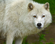 Arctic Wolf Photos - Arctic Wolf by Tony Beck