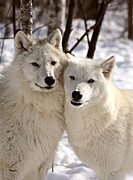 Wolf Posters - Arctic Wolves close together in winter Poster by Mark Duffy