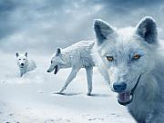 Winter Photos - Arctic Wolves by Mal Bray