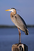 Fort Myers Acrylic Prints - Ardea Herodias Acrylic Print by Juergen Roth