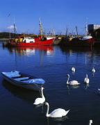 Boats In Harbor Framed Prints - Ardglass, Co Down, Ireland Swans Near Framed Print by The Irish Image Collection