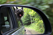Cairn Terrier Photos - Are We There Yet by Sally Dougherty