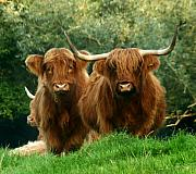 Highland Cow Art - Are You Talking To Us by Angel  Tarantella