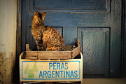 Kitty Pyrography Posters - Argentine pears Hungarian cat Poster by Julianna Horvath