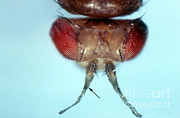 Vinegar Prints - Aristapedia Mutation In Drosophila Print by Science Source