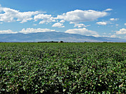 Clouds Photographs Digital Art - Arizona Cotton Field by Methune Hively