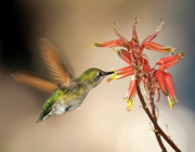 Hovering Prints - Arizona Female Anna Hummingbird feeding on Aloe Flowers Print by Steven Love