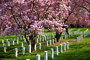 Grave Photos - Arlington Cherry Trees by Brian Jannsen