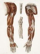 Hand-colored Lithograph Framed Prints - Arm Anatomy, Historical Artwork Framed Print by 