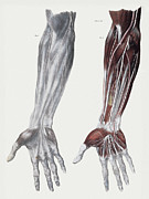 Median Nerves Framed Prints - Arm Nerves Framed Print by Sheila Terry