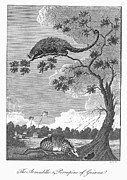 1796 Photos - Armadillo & Porcupine, 1796 by Granger
