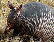 Wildlife Photography Prints - Armadillo Print by Ann Powell