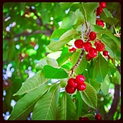 Cherries Acrylic Prints - Around My Backyard. #nature #natural Acrylic Print by Becca Watters
