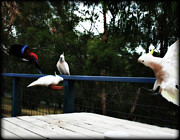 Parrots Photos - Around the Dinner table by Douglas Barnard